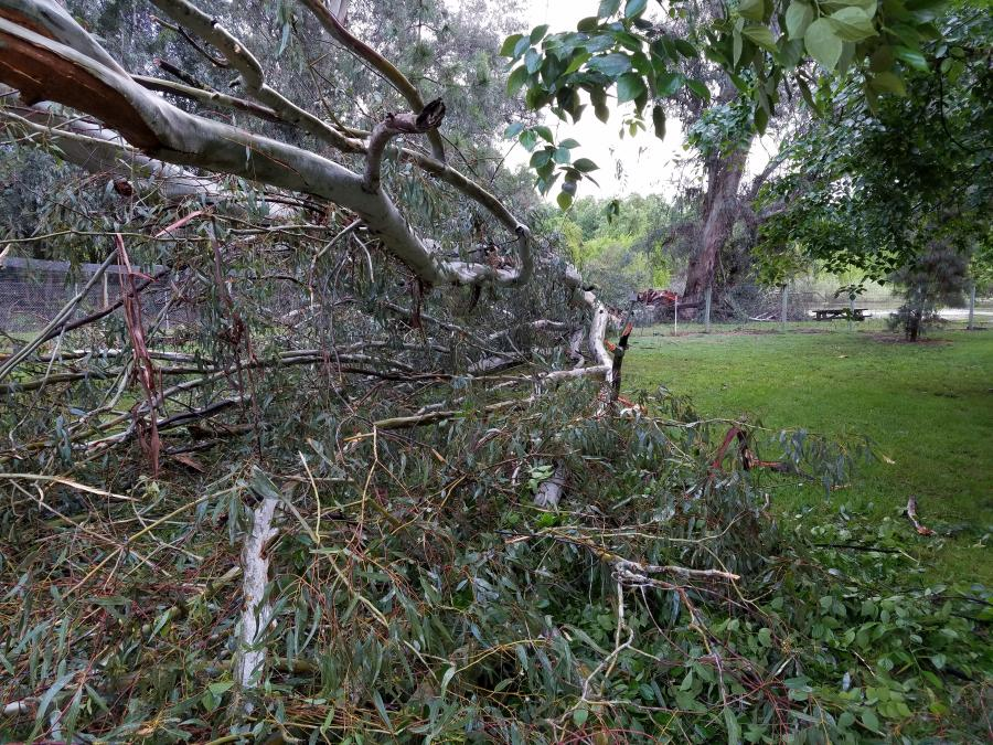 Downed Eucalyptus Trees - Click to enlarge